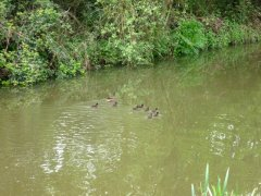Ducklings on Kennet & Avon Canal